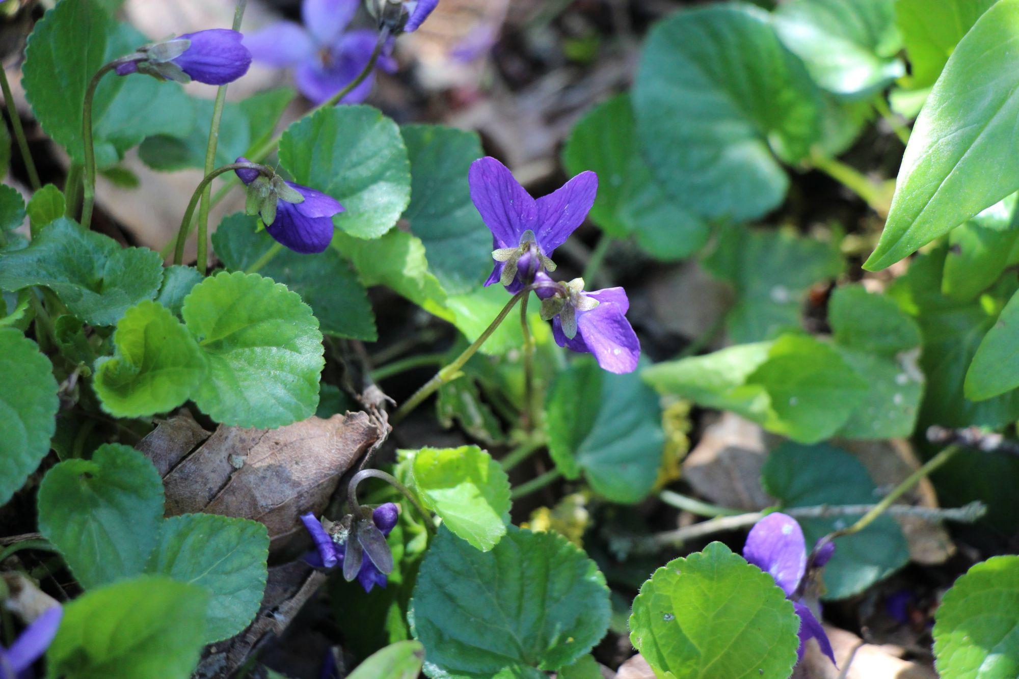 Violettes au sous-bois