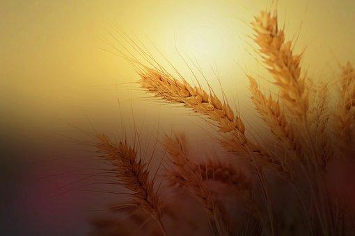 wheat-2713927__340